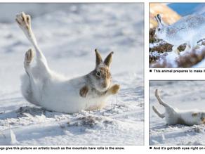 My Mountain Hare pics make the Press!