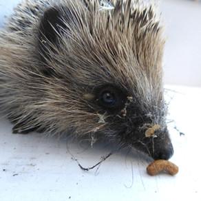Hedgehog Rescue!