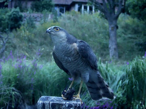 Yew View Sparrowhawk catches a bat!