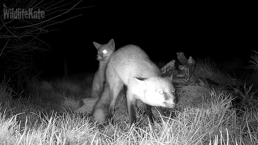 3 Foxes 13th Feb_00001