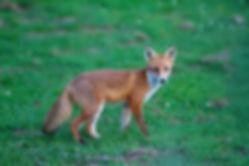 37_foxcub1_Pete.jpg