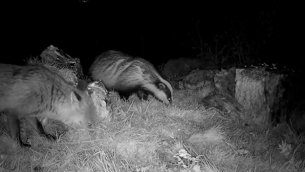 Fox & Badger feeding together_00000