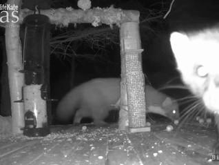 'Birdsy' Cam Night Mammal Excitement