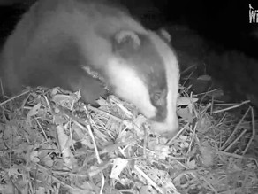 Badger duo, Otters, Jay and Roe deer…