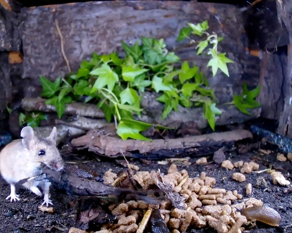 wood mouse covering food_00001
