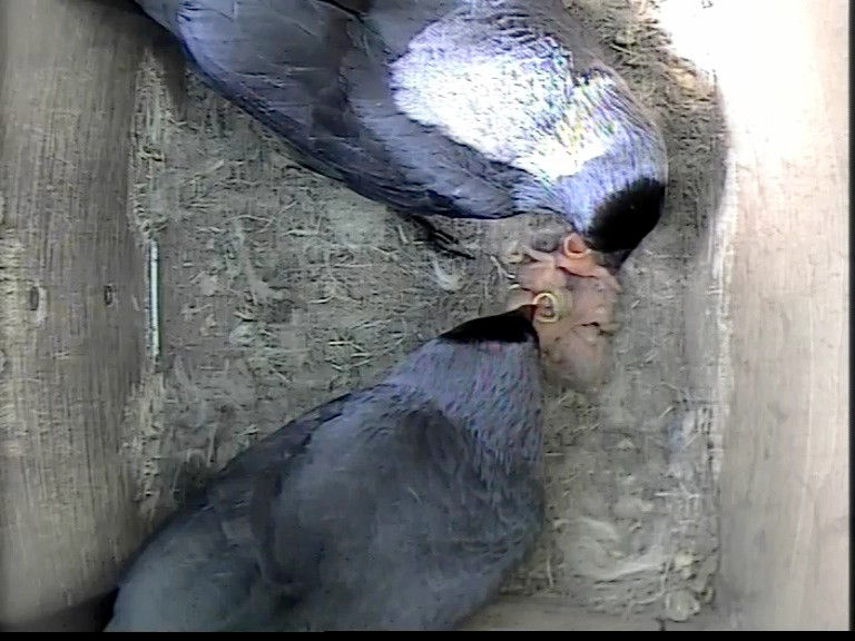 Jackdaw feeding 4 chicks 5th May_00001