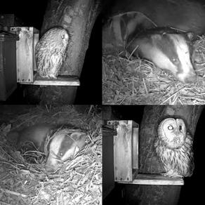 Tawnies and Badgers & a scardi-cat Fox!…. a Yew View update!