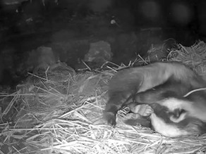 Yew View Badger Sett Action