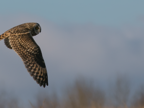 In the company of Short eared owls