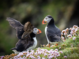 Puffin Delight at Sumburgh Head