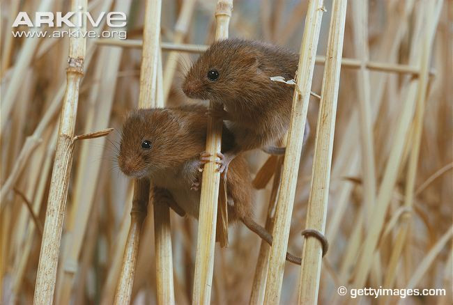 Harvest-mice-on-wheat