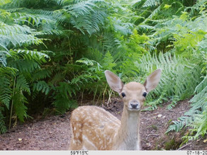 Bushnell Fallow Deer Beauties at Silver Trees