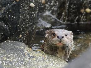 Shetland 2015 – Day 3 Otters & Storm Petrels
