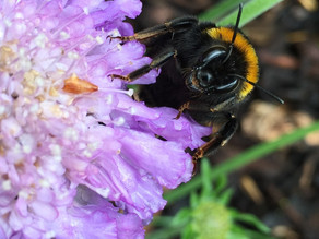 iPhone Bombus