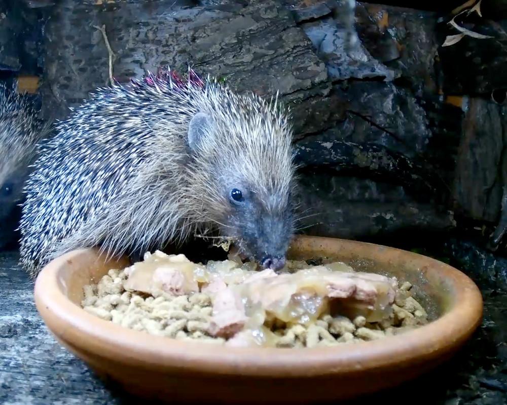 hedgehogs2_00002