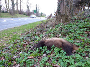 Badger Road Kill…..