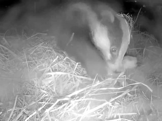 Badger Cub Joy..... to Badger Cub Sorrow