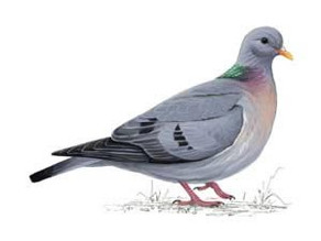 Not a pigeon… but a stock dove!