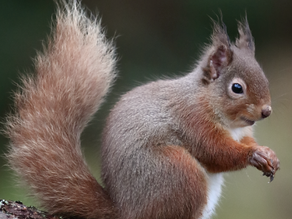 A Final Visit to the Red Squirrels before home….