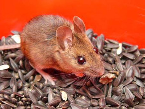 Trapped Wood Mouse