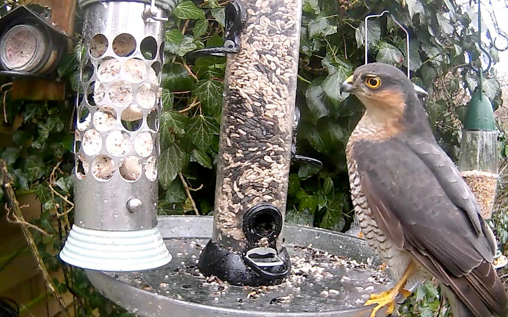 Sparrowhawk male on Hub Feeders_00002
