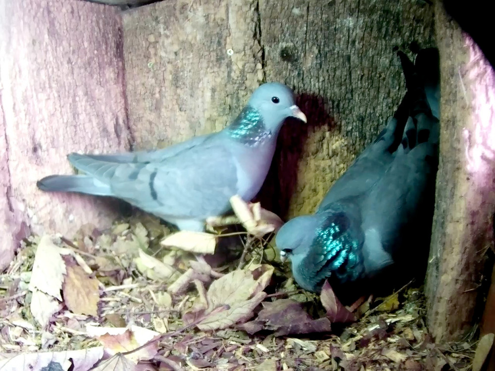 stock-doves-in-tawny-box-22nd-dec_00001