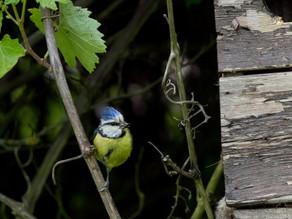 Blue tits feeding in  Greg & Mary's garden