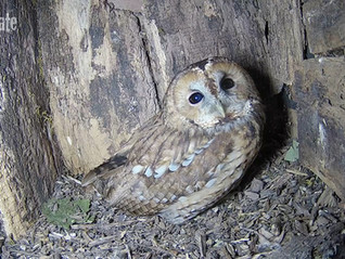 Tawny footage, foxes , badgers and a lot of rain!