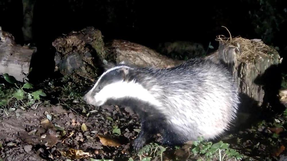 vivotek-badger-feeding-2016-11-08-19-03-25-847