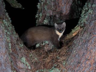 Pine Marten Camera Trap Success at Hillockhead