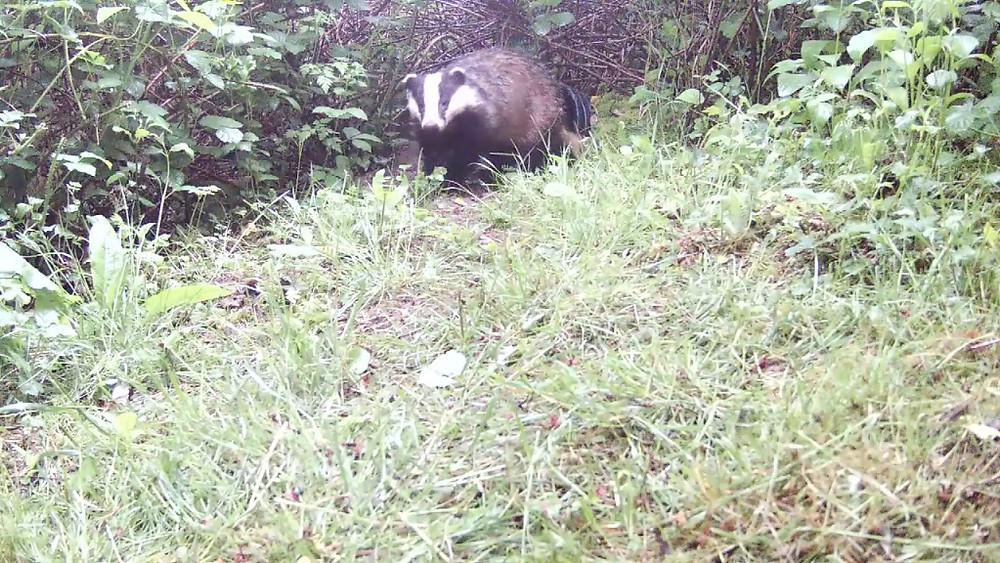 Daytime Badger_Sett2 May 21st 20.27_00000