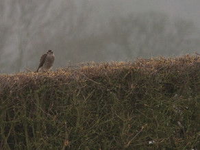Sparrowhawk….. that looked very like a goshawk!