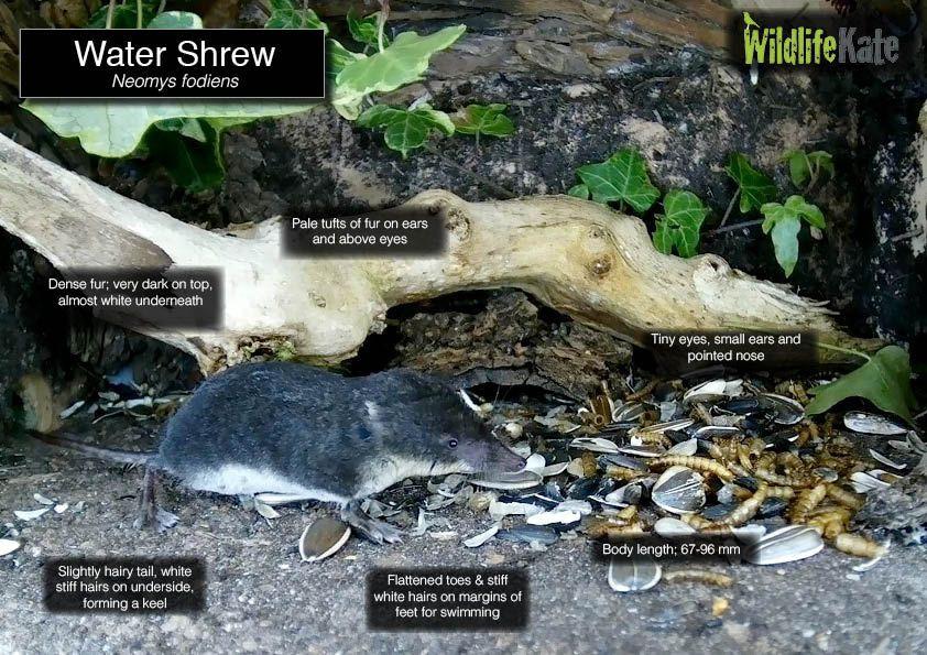 Water Shrew info