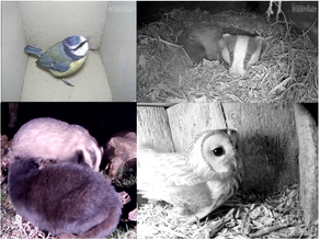 Chilled Badgers, Encounters with Cats and Tawny Updates and Nest Box Build-up!
