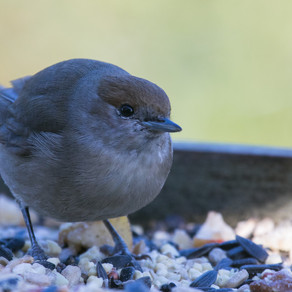 My Female Blackcap hangs around……