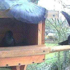 Jackdaws taking over!