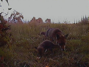Fox update!!! Cubs visit feeding station!!!!