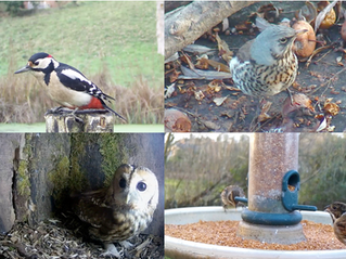 Tawnies, Muntjac, Badgers and Reed Bunting.. this week at Yew View