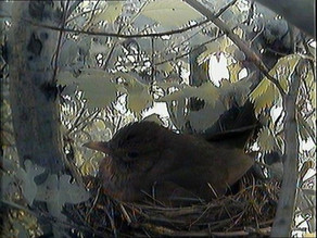 First pictures of female blackbird on nest