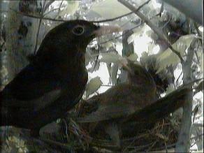 Male blackbird visits
