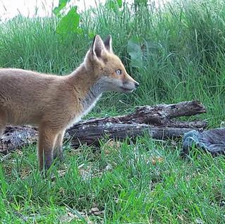 Fox Cubs make an Appearance!