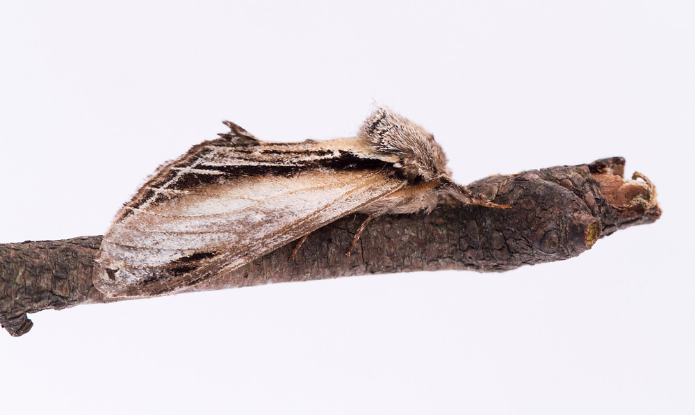 Swallow Prominent-7902