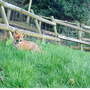 Jackdaws and Hedgehogs & Foxes
