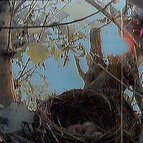 The blackbird eggs start to hatch!