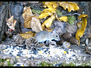 Small Mammal Antics and a Brambling Visits