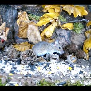 Small Mammal Antics and a Brambling Visits