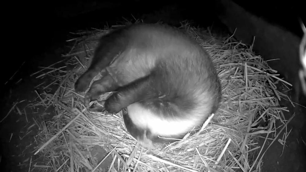 badger-sett-snooze-28th-sept-20-48_00000