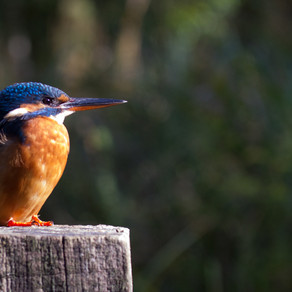 First Yew View kingfisher captures with the DSLR camera trap