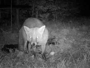 Filming Night Visitors in my Patch…..