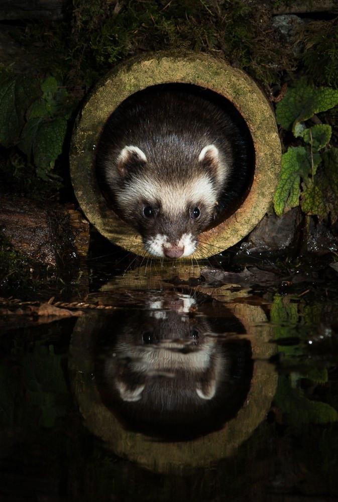 Polecat - Richard Bowler